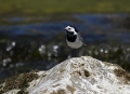 Bela_pastirica_Pied_wagtail_08.jpg