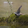Bela_pastirica_Pied_wagtail_09.jpg