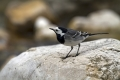 Bela_pastirica_Pied_wagtail_11.jpg
