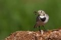 Bela_pastirica_Pied_wagtail_12.jpg