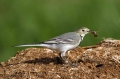 Bela_pastirica_Pied_wagtail_15.jpg