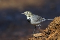 Bela_pastirica_Pied_wagtail_17.jpg
