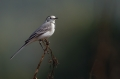 Bela_pastirica_Pied_wagtail_20.jpg