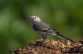 Bela_pastirica_Pied_wagtail_21.jpg