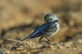 Bela_pastirica_Pied_wagtail_22.jpg