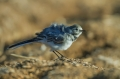 Bela_pastirica_Pied_wagtail_23~0.jpg