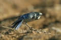 Bela_pastirica_Pied_wagtail_25.jpg