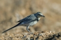 Bela_pastirica_Pied_wagtail_29.jpg