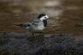 Bela_pastirica_Pied_wagtail_30.jpg