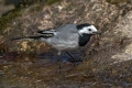 Bela_pastirica_Pied_wagtail_31.jpg