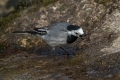 Bela_pastirica_Pied_wagtail_32.jpg