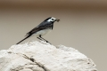 Bela_pastirica_Pied_wagtail_33.jpg
