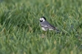 Bela_pastirica_Pied_wagtail_34.jpg
