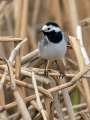 Bela_pastirica_Pied_wagtail_36.jpg