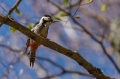 Belohrbti_detel_White_backet_woodpecker_Dendrocopus_leucotos_Zolne_Picidae_01.jpg