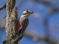 Belohrbti_detel_White_backet_woodpecker_Dendrocopus_leucotos_Zolne_Picidae_02.jpg