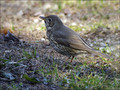 Cikovt_Song_thrush_05.jpg