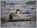 Copasti_ponirek_Great_crested_grebe_07.jpg