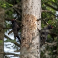 Crna_zolna_Black_woodpecker_05.jpg