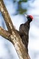 Crna_zolna_Black_woodpecker_06.jpg