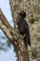 Crna_zolna_Black_woodpecker_07.jpg