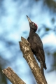 Crna_zolna_Black_woodpecker_10.jpg