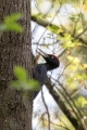 Crna_zolna_Black_woodpecker_11.jpg