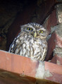 Cuk_Little_owl_04.jpg