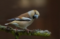 Dlesk_Hawfinch_Coccothraustes_Coccothraustes_Scinkavci_Fringillidae_31.jpg
