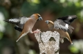 Dlesk_Hawfinch_Coccothraustes_Coccothraustes_Scinkavci_Fringillidae_46.jpg