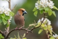 Dlesk_Hawfinch_Coccothraustes_Coccothraustes_Scinkavci_Fringillidae_49.jpg