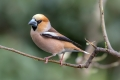 Dlesk_Hawfinch_Coccothraustes_Coccothraustes_Scinkavci_Fringillidae_51.jpg