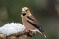 Dlesk_Hawfinch_Coccothraustes_Coccothraustes_Scinkavci_Fringillidae_52.jpg