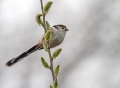 Dolgorepka_Long_tailed_tit_06.jpg