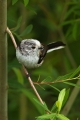 Dolgorepka_Long_tailed_tit_10.jpg
