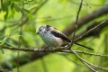 Dolgorepka_Long_tailed_tit_11.jpg