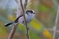 Dolgorepka_Long_tailed_tit_13.jpg