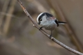 Dolgorepka_Long_tailed_tit_14.jpg
