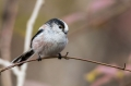 Dolgorepka_Long_tailed_tit_15.jpg