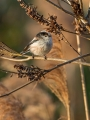 Dolgorepka_Long_tailed_tit_19.jpg