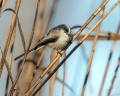 Dolgorepka_Long_tailed_tit_20.jpg