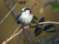 Dolgorepka_Long_tailed_tit_21.jpg
