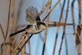 Dolgorepka_Long_tailed_tit_22.jpg