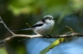 Dolgorepka_Long_tailed_tit_24.jpg