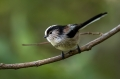 Dolgorepka_Long_tailed_tit_25.jpg