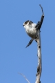 Dolgorepka_Long_tailed_tit_26.jpg