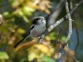Dolgorepka_Long_tailed_tit_27.jpg