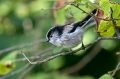 Dolgorepka_Long_tailed_tit_28.jpg