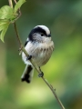 Dolgorepka_Long_tailed_tit_30.jpg