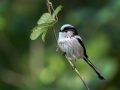 Dolgorepka_Long_tailed_tit_31.jpg